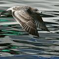 Gull Flight by Myrna Bradshaw