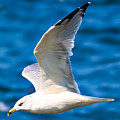 Gull Flying by Amber D Hathaway Photography