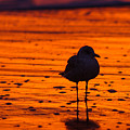 Gull Caught At Sunrise by Allan Levin
