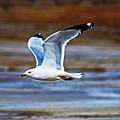 Gull Inflight by Don Baker