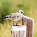Gull On A Post by Linda Kerkau