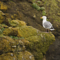 Gull On Cliff Edge by Marv Vandehey