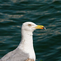 Gull Profile by Bob Phillips
