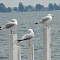 Gulls At Rest by Jeanette Lamberti