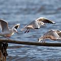 Gulls by Bob Kemp