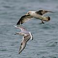 Gulls by Myer Bornstein
