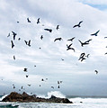 Gulls Of Carmel by Norman Andrus