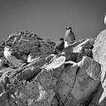 Gulls On Guard - Pt Mugu, California by Samuel M Purvis III