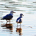Gulls by Traci Cottingham