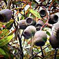 Gumnut Grouping by Douglas Barnard