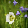 Gunnison's Mariposa Lily by John Bartelt