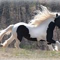 Gypsy Stallion Esperanzo by Terry Kirkland Cook
