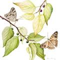 Hackberry Emperor Butterfly by Fran Henig