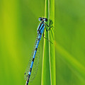 Hagens Bluet by Bill Morgenstern