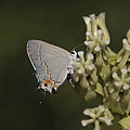 Hairstreak Butterfly by Rich Governali