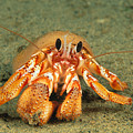 Hairy Hermit Crab by Dave Fleetham - Printscapes