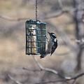 Hairy Woodpecker 1 by Rich Bodane