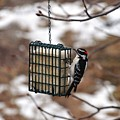 Hairy Woodpecker 2 by Rich Bodane