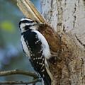 Hairy Woodpecker by Ben Upham III