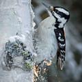 Hairy Woodpecker Female by Dee Carpenter