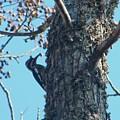 Hairy Woodpecker by Nereida Slesarchik Cedeno Wilcoxon