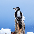 Hairy Woodpecker by Rupert Chambers