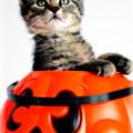 Halloween Kitten by Jarrod Erbe
