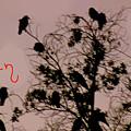 Halloween Ravens by Debra     Vatalaro