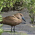 Hamerkop by Mike Fitzgerald