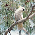 Hamilton Island Cockatoo by Vicki Ferrari