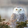 Hampton Beach Nh Snowy Owl by John Vose
