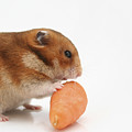 Hamster Eating A Carrot  by Yedidya yos mizrachi