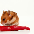 Hamster Eating A Red Hot Pepper by Yedidya yos mizrachi