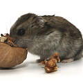 Hamster Eating A Walnut  by Yedidya yos mizrachi