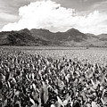 Hanalei Taro Fields by Bob Abraham - Printscapes