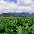 Hanalei Valley Taro Field by Joe Carini - Printscapes