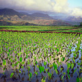 Hanalei Valley Taro Ponds by Kevin Smith