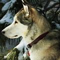 Handsome Husky Nanuk by Marjorie Imbeau