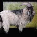 Handsome Pygmy Goat by Debra Baldwin