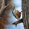 Hangin Out - Nuthatch by Anthony J Padgett
