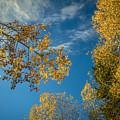 Hanging Aspen by Robert Bales