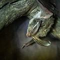 Hanging Big Eared Bat by Douglas Barnett