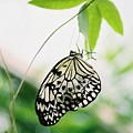 Hanging Butterfly by Lauri Novak