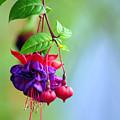 Hanging Gardens Fuschia by Laura Mountainspring