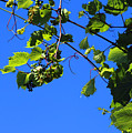 Hanging Grapes by Don Baker