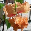 Hanging Hibiscus by Laurette Escobar