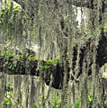 Hanging Moss by Lydia Holly