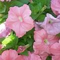 Hanging Pink Petunias Basket by Maxine Billings