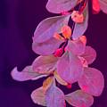 Hanging Purple by Ian  MacDonald