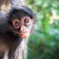 Hanging Spider Monkey by Jess Kraft